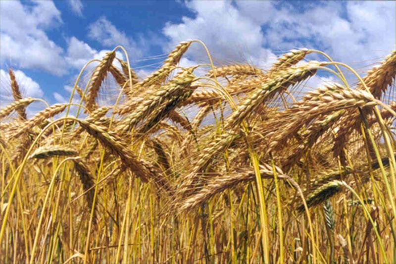 Gobierno departamental comprometido con la siembra de cebada