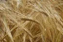 En Boyacá ya está reactivada la siembra de cebada