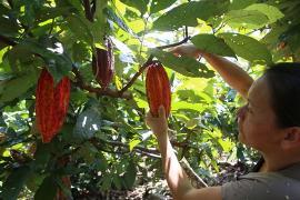 Muzo acogerá el Primer Festival de Cacao de Boyacá