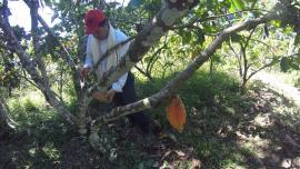 Se fortalece cadena productiva de cacao en Boyacá