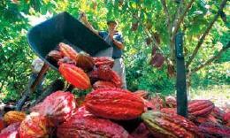 $ 22.000 millones ha aportado la Gobernación a proceso cacaotero de Occidente