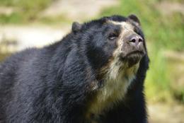 El Gobierno de Boyacá rechaza asesinato de osos de anteojos