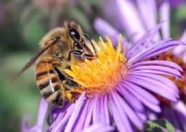 Secretaría de Fomento Agropecuario apoya campaña para proteger las abejas