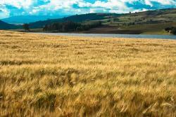 Boyacá favorecido con 30 mil hectáreas de cebada que se cultivarán en los próximos cuatro años
